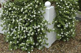 Bakopa - piękny kwiat - wymagania, uprawa, pielęgnacja, choroby, porady