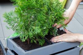 Tuje na balkon w doniczce - odmiany, sadzenie, pielęgnacja, porady