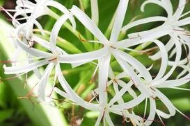 Kwiat ismena - odmiany, uprawa, pielęgnacja, porady praktyczne