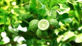 Pomarańcza bergamotka - uprawa, pielęgnacja, zastosowanie, właściwości