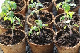 Rozsada pomidora w domu krok po kroku - poradnik praktyczny