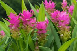 Kwiat kurkuma w doniczce - uprawa, pielęgnacja, porady praktyczne