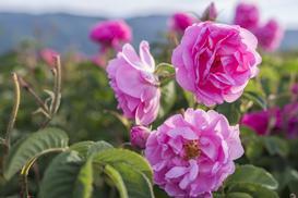 Róża damasceńska - właściwości, zastosowanie, sadzonki, pielęgnacja