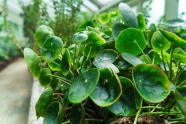 Pilea peperomioides (kwiat pieniążek) - uprawa i pielęgnacja
