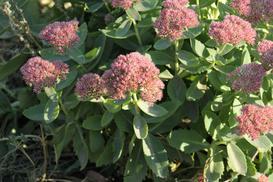 Hortensja 'Pink Diamond' - opis, uprawa, pielęgnacja, przycinanie
