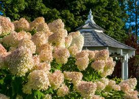 Hortensja 'Grandiflora' (bukietowa) - wymagania, uprawa, pielęgnacja