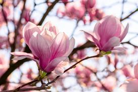 5 najpopularniejszych odmian magnolii - poznaj je wszystkie
