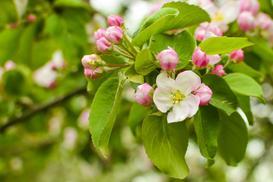Jabłoń malinówka - opis, sadzenie, uprawa, pielęgnacja, porady
