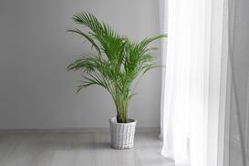 Dypsis lutescens (Areca Palm) - uprawa, pielęgnacja, cena, przesadzanie