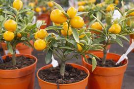 Drzewko pomarańczowe w domu - uprawa, pielęgnacja, porady