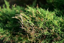 Choroby drzew liściastych i iglastych - rodzaje, przyczyny, zwalczanie