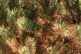 Osutka sosny i innych iglaków - przyczyny, objawy i zwalczanie krok po kroku