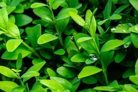 Ceny bukszpanu - zobacz, jakie jest koszt sadzonek i całego żywopłotu
