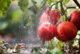 Podlewanie pomidorów krok po kroku - poznaj podstawowe zasady