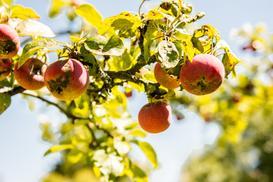 Najczęstsze choroby jabłoni - opisy i sposoby zwalczania