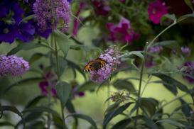 Budleja trójkolorowa - sadzenie, pielęgnacja, przycinanie, uprawa