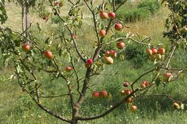 Dzika jabłoń - opis odmiany, pielęgnacja, choroby, porady