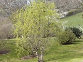 Wierzba mandżurska - sadzenie, uprawa, pielęgnacja, cięcie, rozmnażanie, choroby