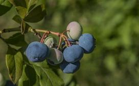 Borówka kanadyjska - odmiany, sadzonki, uprawa, pielęgnacja