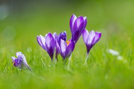 Fioletowe kwiaty ogrodowe - TOP 10 najciekawszych gatunków