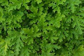 Pelargonia szorstka (anginowiec) - właściwości lecznicze, zastosowanie, porady