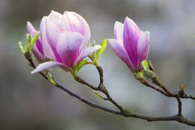 Sadzonki magnolii krok po kroku - rodzaje, ceny, opinie, porady