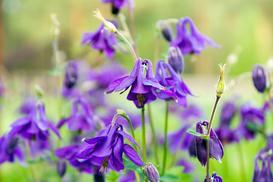 Kwiat orlik - opis, odmiany, wymagania, pielęgnacja