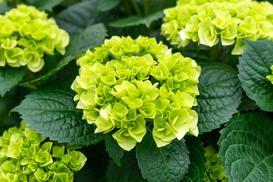 Hortensja 'LITTLE LIME' (Hydrangea paniculata) - uprawa, pielęgnacja, porady