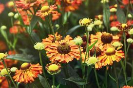 Dzielżan ogrodowy - informacje, uprawa, rozmnażanie, zdjęcia