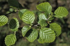 Olsza czarna - opis, sadzenie, wymagania, pielęgnacja