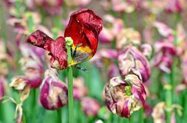 Tulipany po przekwitnięciu krok po kroku? Kiedy wykopać cebulki?