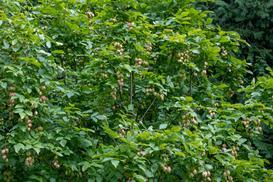Kłokoczka - poznajcie niezwykły krzew różańcowy krok po kroku