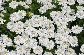 Ubiorek wiecznie zielony - rodzaje, sadzenie, pielęgnacja