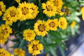 Nachyłek wielkokwiatowy - opis, wymagania, uprawa, porady