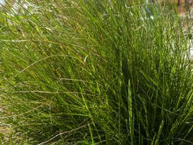 Kostrzewa łąkowa - opis, gatunki, wymagania, uprawa