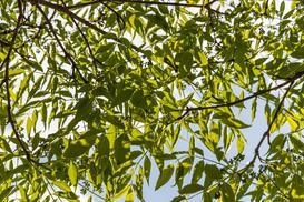 Korkowiec amurski - informacje, uprawa, wymagania, zdjęcia