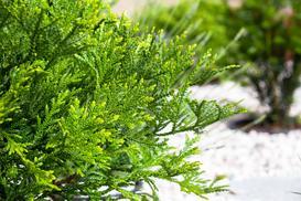 Żywotnik japoński (żywotnikowiec japoński) - opis, sadzenie, wymagania
