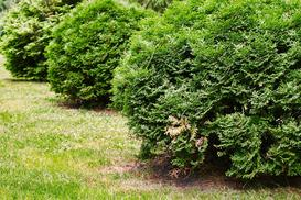 Tuja 'Kórnik' - opis, sadzenie, wymagania, pielęgnacja, opinie