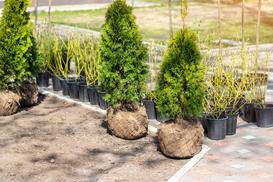 Co ile sadzić tuje? Wyjaśniamy, jakie odstępy zachować przy sadzeniu