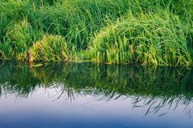 Sitowie - rodzaje roślin, występowanie, wymagania, uprawa
