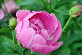 Kwiat peonia - opis, wymagania, uprawa, rozmnażanie