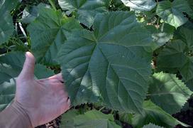 Drzewo tlenowe - gatunki, właściwości, sadzenie, pielęgnacja