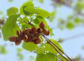 Paulownia puszysta - opis, sadzenie, wymagania, przycinanie