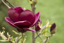 Magnolia 'Genie' - opis, sadzenie, uprawa, rozmnażanie