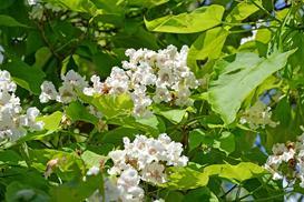 Surmia bignoniowa 'Nana' - informacje, sadzenie, pielęgnacja, opinie