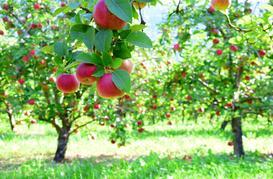 Jabłoń 'Gloster' - opis, wymagania, sadzenie, cięcie, choroby