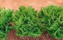 Tuja 'Danica' - opis, sadzenie, formowanie, porady praktyczne