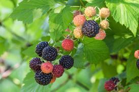 Czarna malina - opis, wymagania, sadzenie, przycinanie