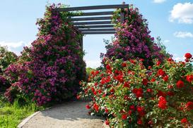 TOP 3 najlepsze podpory do róż pnących - opis, wykonanie, opinie