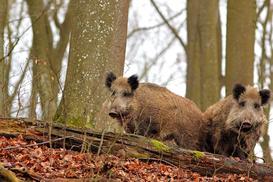 Spotkanie z wilkiem, zającem i innymi mieszkańcami lasu